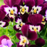 Pansy Flower Fancy faces