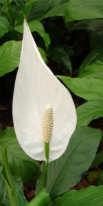 Peace lily plant white flowers