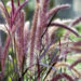 Purple Fountain Grass Care