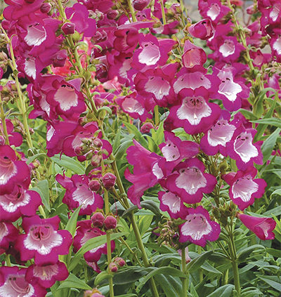 Penstemons-reliable-tough-perennials