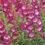 Penstemons-reliable-tough-perennials