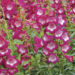 Penstemon Plants Grow & Care