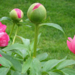 Peony-roses-buy-in-winter-plant-in-autumn-when-dormant-