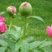 Peonies How To Grow Peony Roses