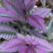 How To Grow Persian Shield Plant?