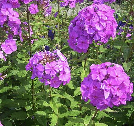 Phlox Planting And Caring