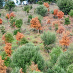 Phytophthora-Dieback-Symptoms-Treatment-and-Prevention
