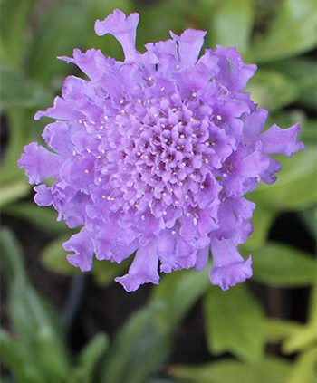 Pincushion-Scabiosa-Flower