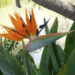 Bird of Paradise How to Grow Strelitzia