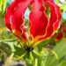 Gloriosa Lily Rothschildiana Care