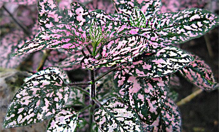 Polka-dot-plant-Hypoestes-phyllostachya-freckle-face-plant-