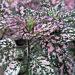 Polka Dot Plant Humidity Terrariums