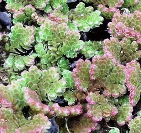Problem-azolla-weed-control-