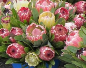 Proteas Growing Cuttings Pruning