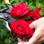 Pruning a red rose bush