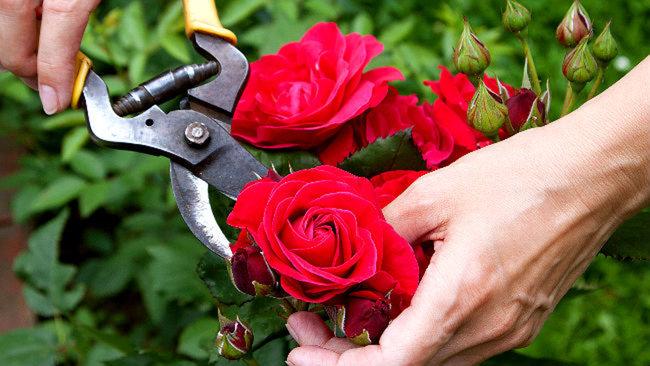Pruning a red rose bush