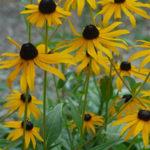 Rudbeckia flowers yellow black centres