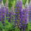 Russell-Lupins-Perennial-Plants