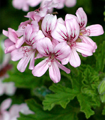 Scented-Pelargoniums-have-perfumed-leaves-and-tiny-flowers