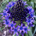 Scilla-Peruviana-Blue-Midnight