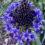 Scilla-Peruviana-Blue-Midnight