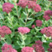 Sedum Succulent for Your Garden and Pots