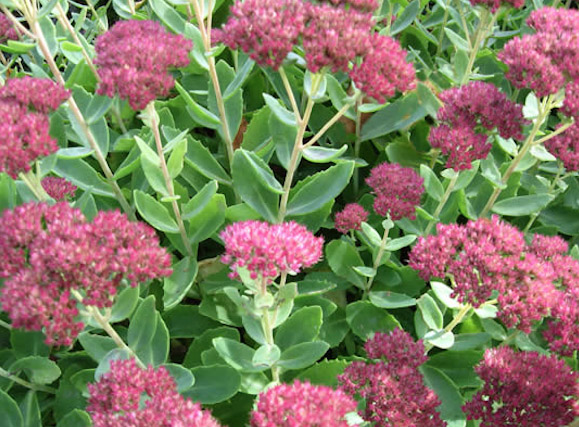 Sedum Succulents | How to Grow Hardy Sedums Plants Gardens Pots