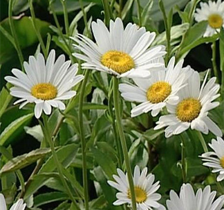 Shasta Daisies white yellow centre