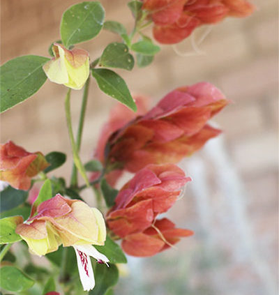 Shrimp-plant-growing-requirements