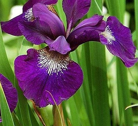 Siberian-Iris-Or-Iris-Sibirica
