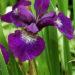 Siberian Iris Cultivation