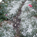 Snow in Summer Groundcover growing around roses