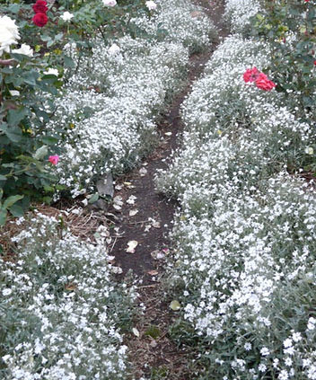 Snow-in-Summer-Groundcover