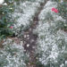 Snow in Summer Groundcover