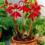 Sprekelia-Jacobean-Lily-Aztec-Lily-1