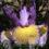 Spuria-Iris