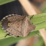Squash-bug-on-daylily-leaves