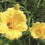 Stella d'Oro daylily Stella d Oro daylily Daylily for Sale