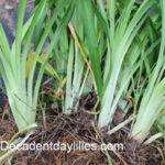 dug up daylily clump ready to divide daylilies