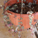 String-Of-Hearts-Rosary-Vine-Plant-Propagation-1