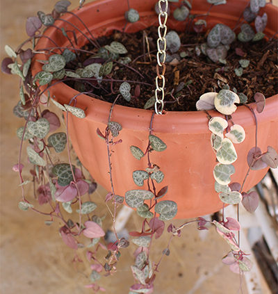 chain Of Hearts Rosary Vine growing in hanging basket