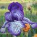 Bearded Iris Growing Planting Tips