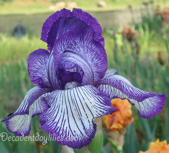 Tall Bearded Iris plant