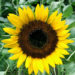 How To Grow The Best Sunflowers