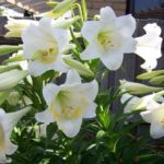 White November Lilies Or Christmas Lilies