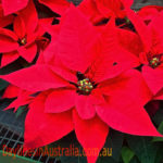 Poinsettia flowering at Christmas time
