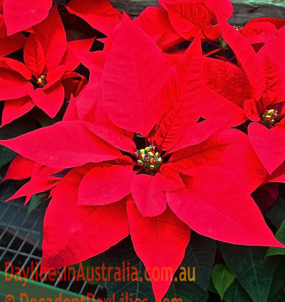 The-Glory-of-the-Poinsettia
