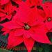 Dwarf Poinsettia Christmas Flowers