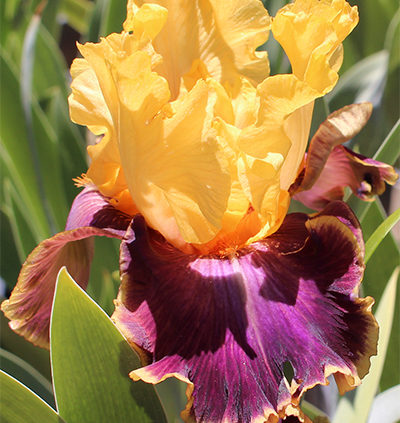 The-life-cycle-of-a-bearded-iris-plant