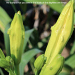 Thrips-inside-the-buds-of-a-daylily